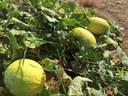 Alunos estagiários realizam plantação de melão no Câmpus Amajari