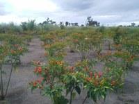ESPECIAL EAD -  Empreendedora triplica produção de pimentas com aprendizado do curso técnico